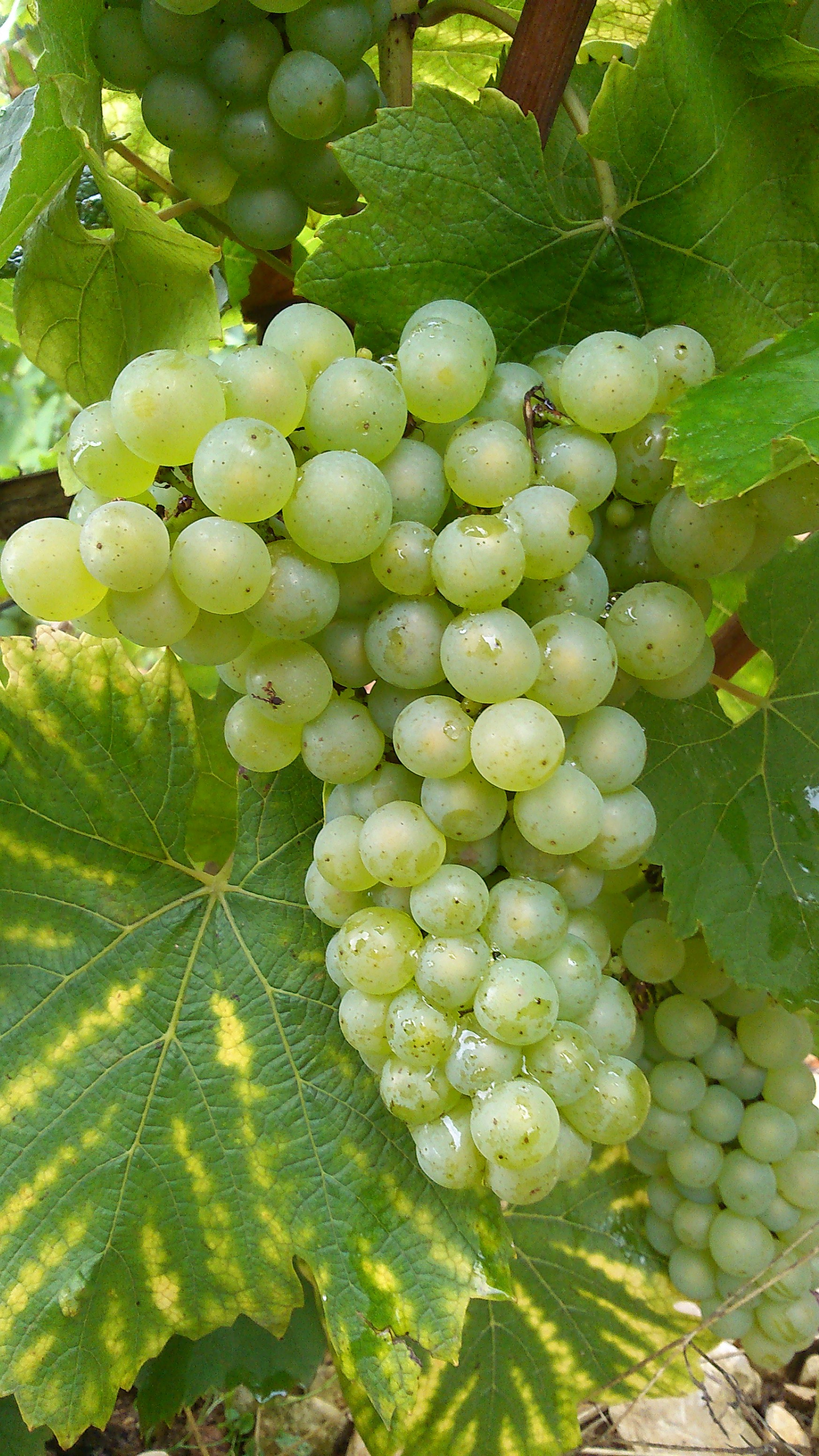 Grappe chardonnay