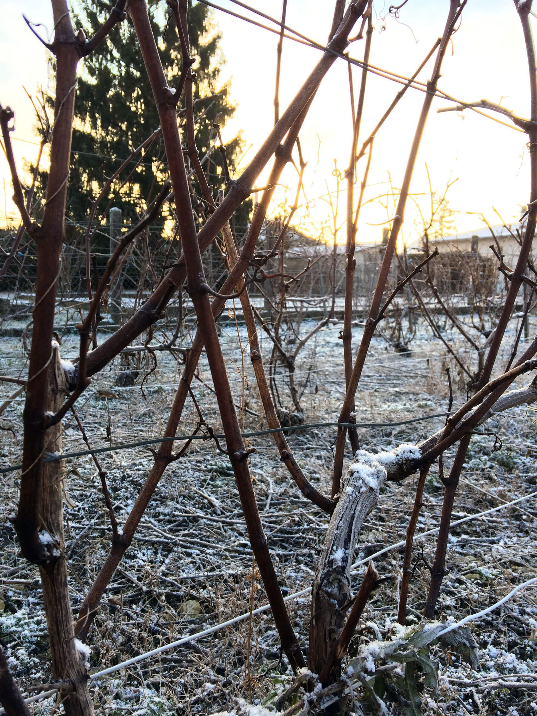 Neige dans la vigne