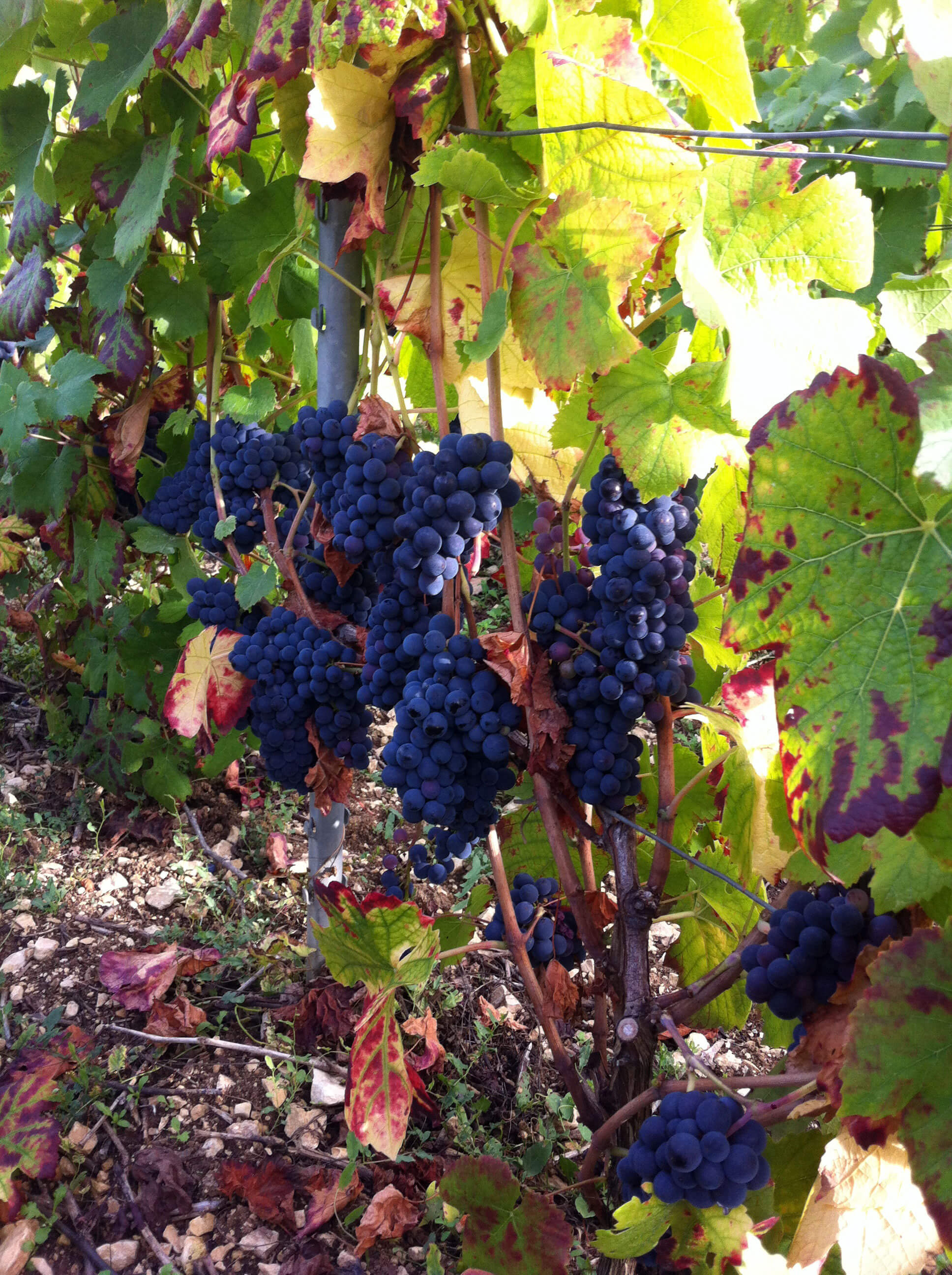 Grappes de raisin et feuilles de vignes