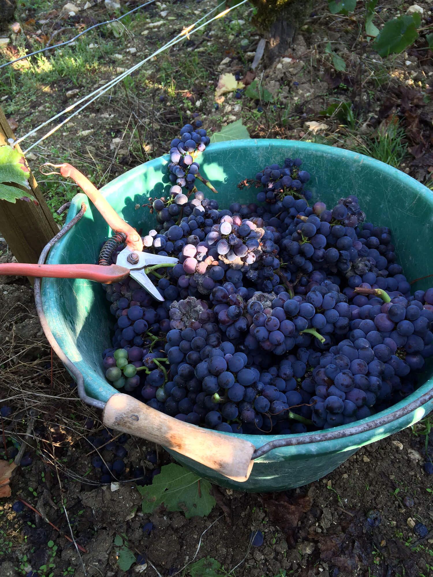 Vendanges - sécateur avec grappes de raisin