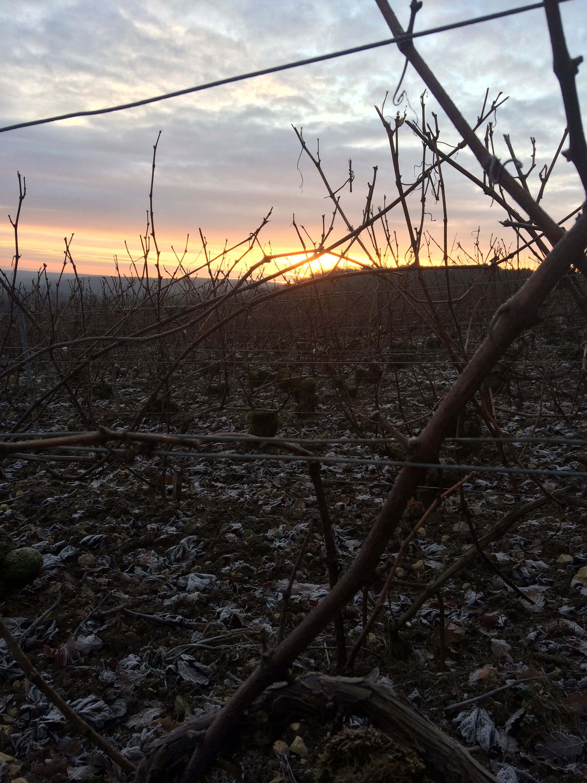 Vignoble d'hiver au coucher du soleil