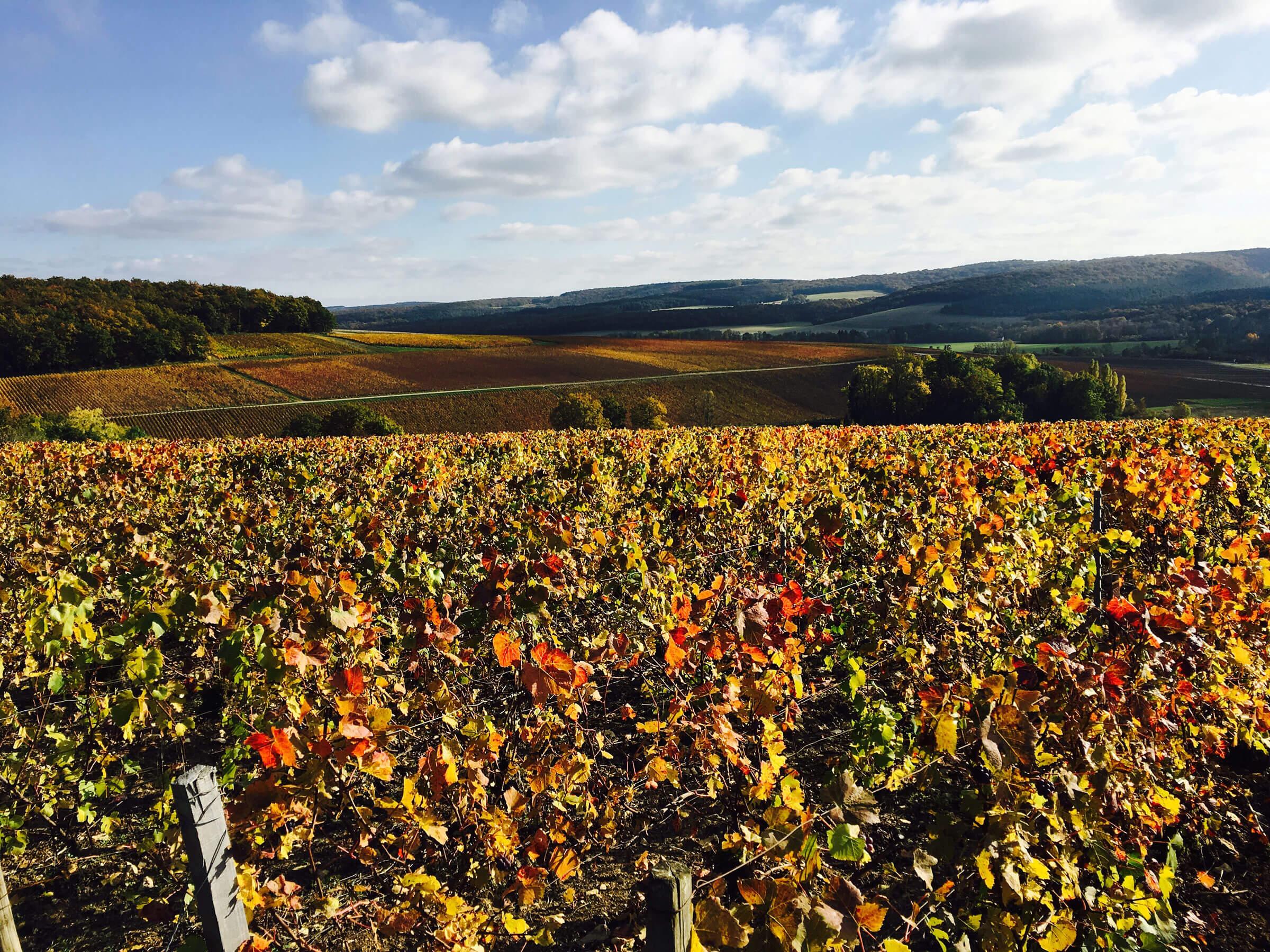 Vignoble de la Côte-des-Bar à l'automne