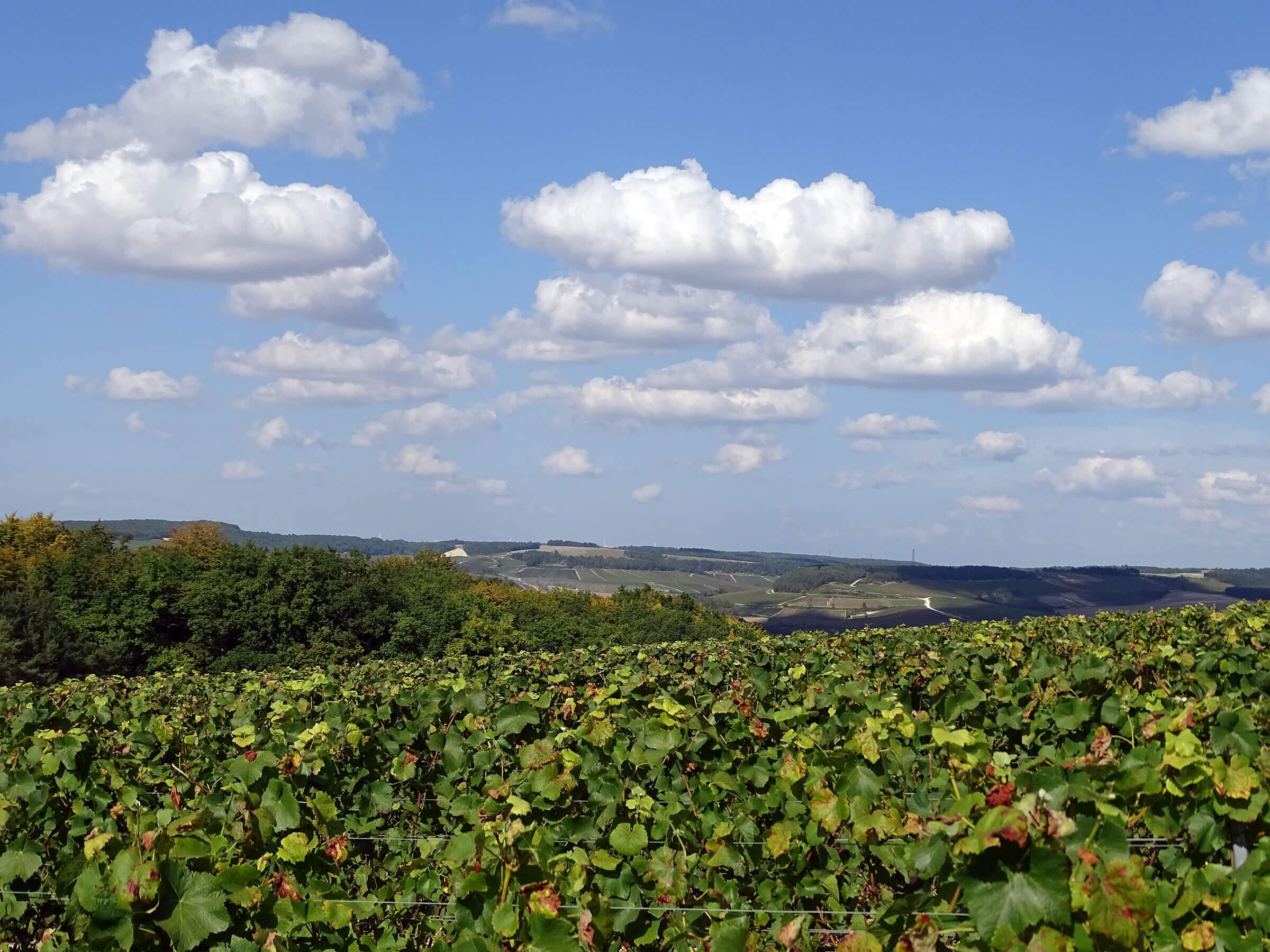 Vignoble de la Côte-des-Bar en été